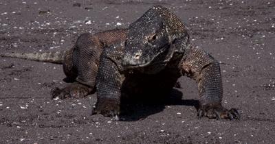 CU Front view, Komodo Dragon,Varanus komodoensis, Stares into camera