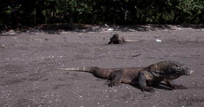 MS Panning Three Komodo Dragons,Varanus komodoensis, one shakes its tongue about