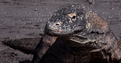 Portrait, blinking Komodo Dragon,
