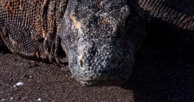 XCU Stunning,Komodo DragonVaranus komodoensis,  face on sea sand