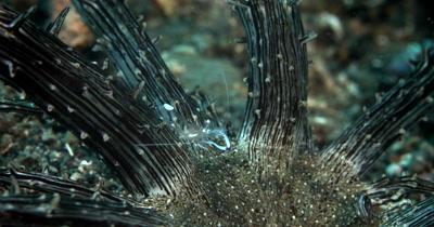 CU of Magnificent Shrimp feeding, on Snake Sea Anemone ,Ancylomenes magnificu on Actinostephanus haeckeli