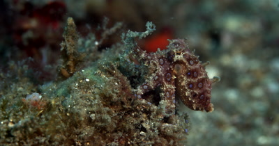 MS Blue-Ringed Octopus, Hapalochlaena lunulata, breathing rapidly with its blue rings shining