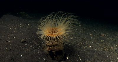 MS at Night of Tube Anemone, Cerianthus sp2,  with peach colored tentacles swaying in the sea current