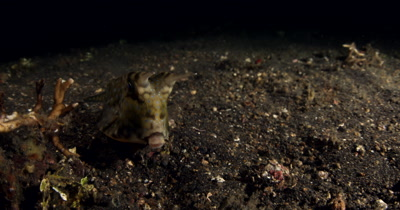 XCU at Night of Longhorn Cowfish, Lactoria cornuta, coming towards camera