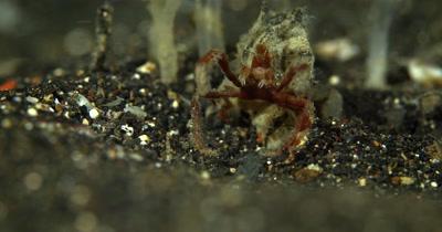 MS of Hunting Spider Crab,Achaeus spinosus