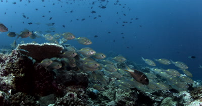 Camera facing a school of Yellowspot Emperor or Striped Large-eye Bream on a coral reef then moves through them over the reef Gnathodentex aurolineatus