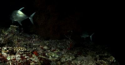 Medium shot of Hunting Whitetip Reefshark Giant Trevally and Moray eels on a coral reef at night Triaenodon obesus Caranx ignobilis