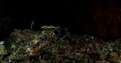 Medium shot of Two Hunting Whitetip Reefshark, a Giant Trevally and Moray eel on a coral reef at night Triaenodon obesus Caranx ignobilis