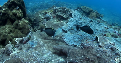 A Medium shot of a Bignose Unicornfish, Naso vlamingi get cleaned by two Bluestreak Cleaner Wrasse, Labroides dimidiatus