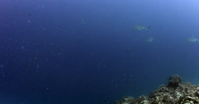 Three Gray Reef Sharks, Carcharhinus amblyrhynchos swim through a school of fish.. One shark has two Pilot fish ,Naucrates ductor, attatched to its nose.