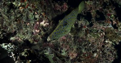 A close up of a Scraweled Filefish, Aluterus scriptus