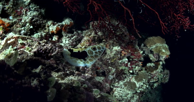 A wide shot of a  Large Grand Pleurobranch, Pleurobranchus grandis, swaying on the coral reef at night.