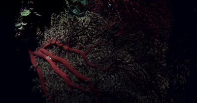 A reveal of a  Large Grand Pleurobranch, Pleurobranchus grandis, swaying on the coral reef at night.