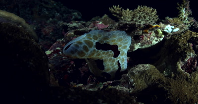 A close up of a  Large Grand Pleurobranch, Pleurobranchus grandis, swaying on the coral reef at night