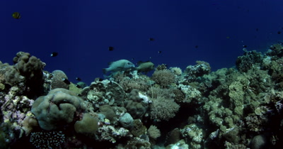 Three Large Harlequin Sweetlips,Plectorhinchus chaetodonoides  swim over the coral reef with a school of Bicolor chromis,Damselfish,Chromis margaritifer