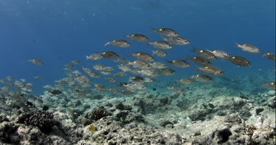 A school of Yellowspot Emperor , Striped Large-eye Bream  Gnathodentex aurolineatus, swim over the reef