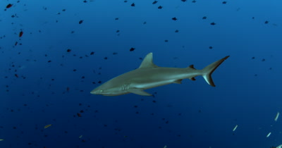 Four Gray Reef Sharks, Carcharhinus amblyrhynchos glide in the blue sea through a large school of  Redtooth Triggerfish ,Odonus niger