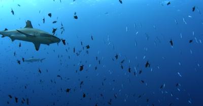 A Gray Reef Sharks, Carcharhinus amblyrhynchos glide in the blue sea through a large school of  Redtooth Triggerfish ,Odonus niger