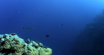Three Gray Reef Sharks, Carcharhinus amblyrhynchos glide through the ocean, the one is missing its dorsal fin..