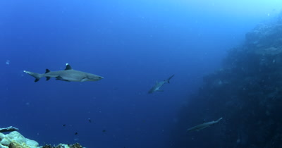 Two Whitetip Reefshark, Triaenodon obesus and a  Gray Reef sharks,Carcharhinus amblyrhynchos glide in the blue sea.