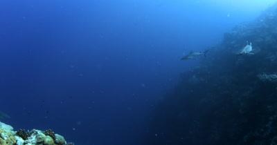 A Whitetip Reefshark, Triaenodon obesus and Two Gray Reef sharks,Carcharhinus amblyrhynchos glide in the blue sea.