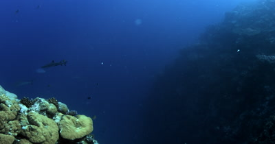Whitetip Reefshark, Triaenodon obesus and Gray Reef sharks,Carcharhinus amblyrhynchos glide in the blue sea.