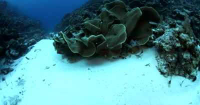 A huge block of Lettuce Coral, Turbinaria mesenterina at Ulong Channel