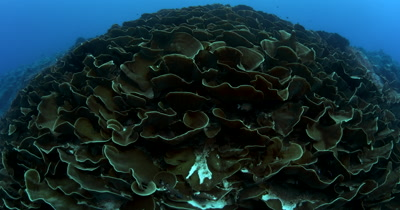 A huge block of Lettuce Coral, Turbinaria mesenterina at Ulong Channel with divers at the end of the clip, to give it some perspective
