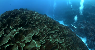 A huge block of Lettuce Coral, Turbinaria mesenterina at Ulong Channel with divers to give it some perspective