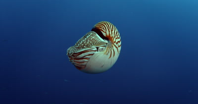A Nautilus spp.,propels itself in the blue ocean water