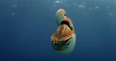 Two Nautilus spp. with their Tentacles protruding, bob in the blue ocean water