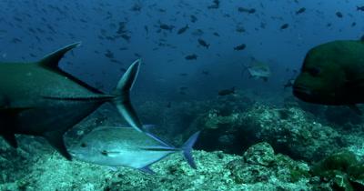 Giant Trevally - Caranx ignobilis, Bluefin Trevally - Caranx melampygus and WhiteTip reef shark, Triaenodon obesus swim past the camera