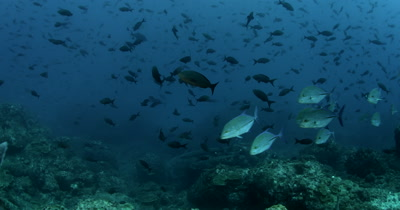 Giant Trevally , Caranx ignobilis and a school of Bluefin Trevally , Caranx melampygus swim past the camera