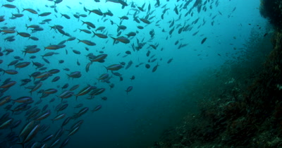 A school of Bluestreak Fusilier, Pterocaesio tile fish swim in front of a huge bait ball of Anchovies, Stolephorus indicus