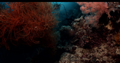 Reveal of Two Lionfish,Pterois spp floating in the sea full of glistening Anchovy