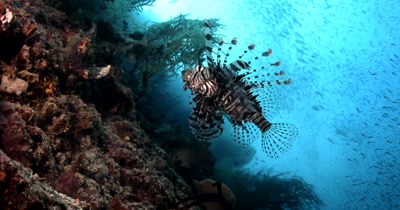A Lionfish,Pterois spp floating in the sea full of a large bait ball of Anchovy