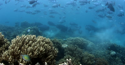 A large school of Bumphead parrotfish, Bolbometopon muricatum and Gray Rudderfish, Lowfin Drummer, Kyphosus vaigiensis swim in the ocean creating a dust cloud of poop/sand