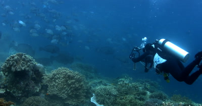 A diver swims towards a large school of Bumphead parrotfish, Bolbometopon muricatum and Gray Rudderfish, Lowfin Drummer, Kyphosus vaigiensis swim in the ocean creating a dust cloud of poop/sand