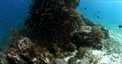 Anchovy fish, Stolephorus indicus showering over a coral block