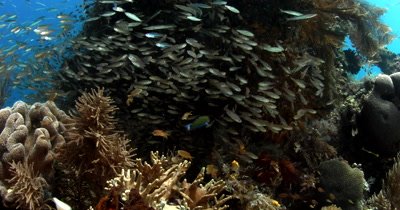 Close up Beauty shot of Glassfish (Cardinalfish), Ambassis sp and Anchovy,Stolephorus indicus and many other coral fish swim around a pretty coral block