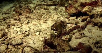 A Blue-Ringed Octopus, Hapalochlaena sp floating over broken coral