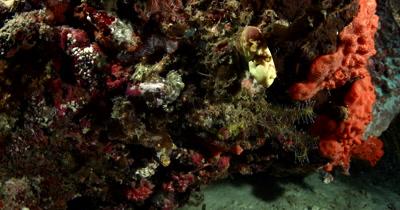 A Blue-Ringed Octopus, Hapalochlaena sp slides down over colorful sponges