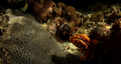 A Blue-Ringed Octopus, Hapalochlaena sp patiently waits to capture its prey, a small reef fish