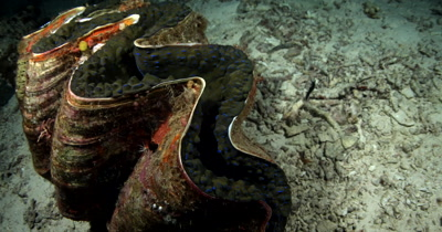 A huge Giant clam,Tridacna gigas tightens its muscle and closes itself tighter