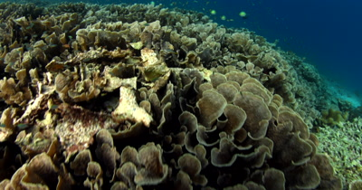 A huge area covered in Philippines Stony Coral, Montipora tuberculosa with Indopacific Sergeant fish, Abudefduf vaigiensis and other small reef fish swarming the reef