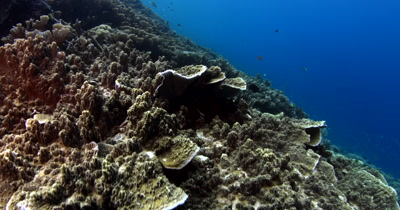 A huge area covered in Philippines Stony Coral, Montipora tuberculosa with small reef fish swarming the reef