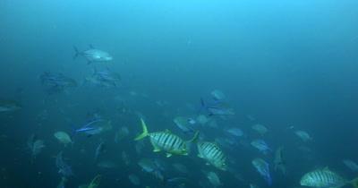 A large school of Bluefin Trevally, Caranx melampygus darting around in the ocean
