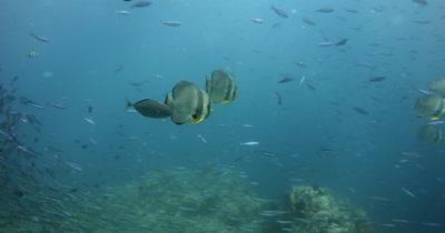 A large school of Longfin Batfish (Spadefish), Platax teira , Scissor-Tailed Fusilier,Caesio caerulaurea and Anchovy, Stolephorus indicus swim in the sea
