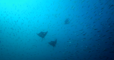 Three Devil Ray (Chilean Mobula), Mobula tarapacana swims through a large bait ball of Anchovies, Stolephorus indicus