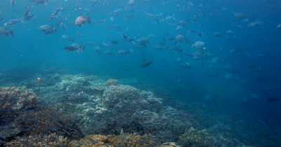 A large school of Gray Rudderfish, Lowfin Drummer, Kyphosus vaigiensis and Fusilliers swim in the ocean
